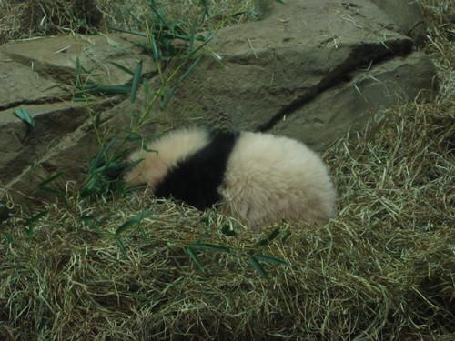 Tai Shan sleeping